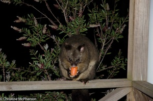 Possum scrambled around our deck most evenings