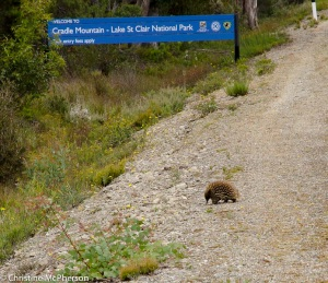 Echidna crossing the road as we entered Lake St Clair