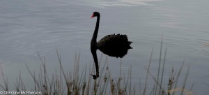 Swan on the Huon River