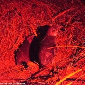Penguin chicks waiting their feed.  The light had to be red to not upset the little fellas