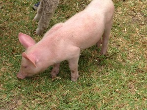 That funny little piglet!