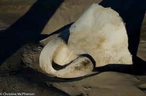 Whale bones we found at Macquarie Heads