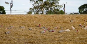 Galah's at Cockatoo lake