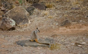 Yellow Footed Rock Wallaby - notice its stripy tail