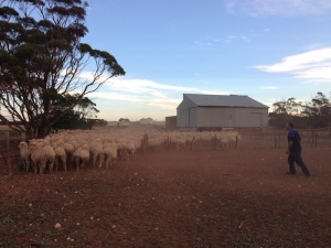 Late arvo round up of sheep done by Janine and myself