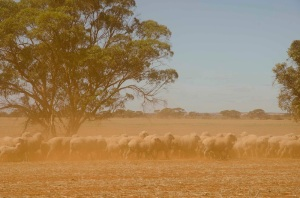Rounding up sheep in the red dust