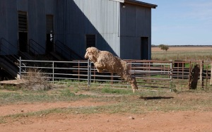 Leaping sheep!