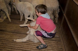 Pulling out a lamb for the shearer.