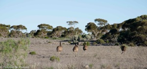 Emus doing a run for it