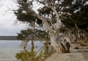 Gorgeous paper bark trees