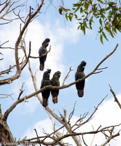 Red tailed black cockatoos at camp