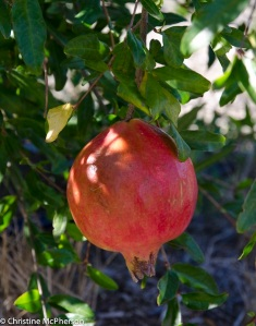 Pomegranates in the orchard!
