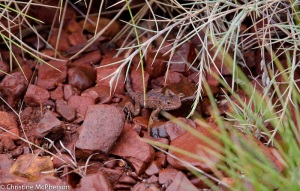 Little lizard out in the cold
