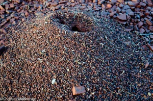 Ants nest getting ready for rain