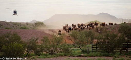 Mustering the cattle in