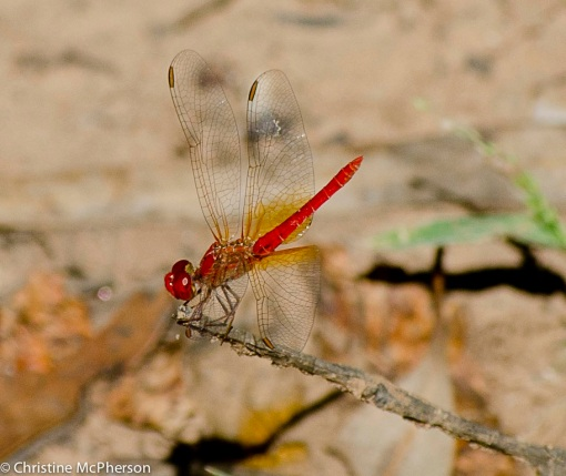 Dragon Flies out on the Fitzroy River