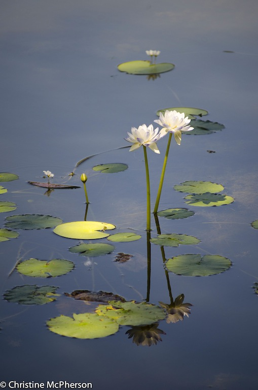 Pretty water lilies