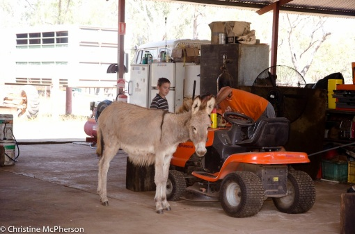 Darcy the donkey working with Stephen