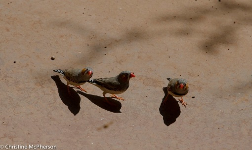 These finches were in force at the water stations… very cute :-)