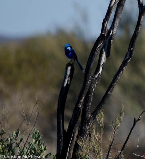 Blue Wren - the most vibrant of blue we've seen