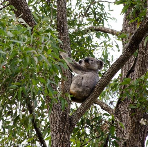 The Koala!